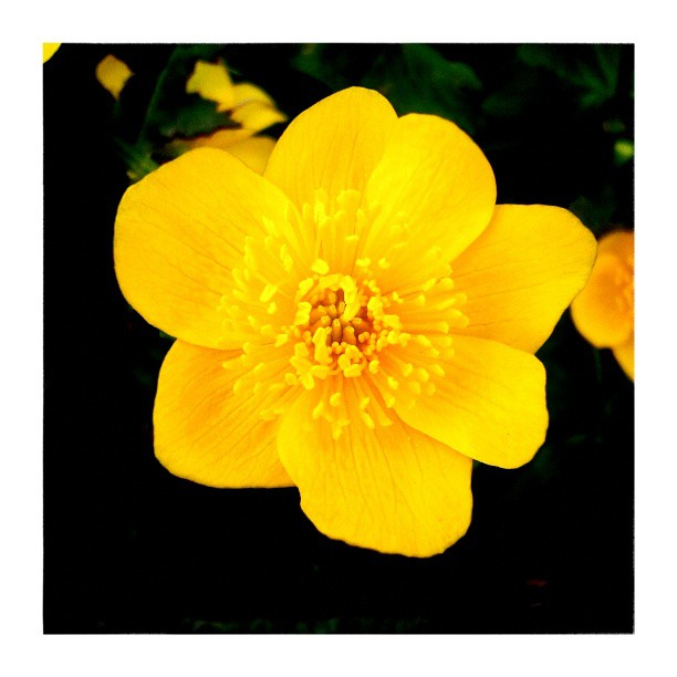 Marsh marigold - from Instagram