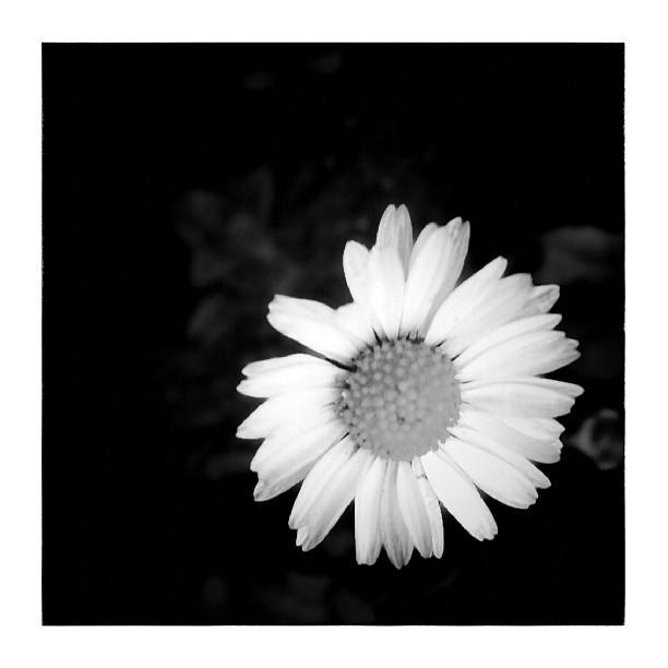 Daisy - from Instagram