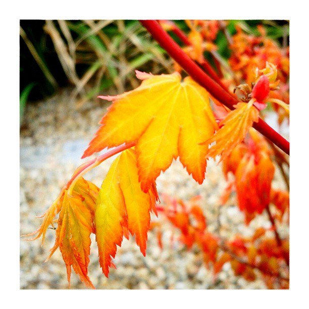 Maple leaves - from Instagram