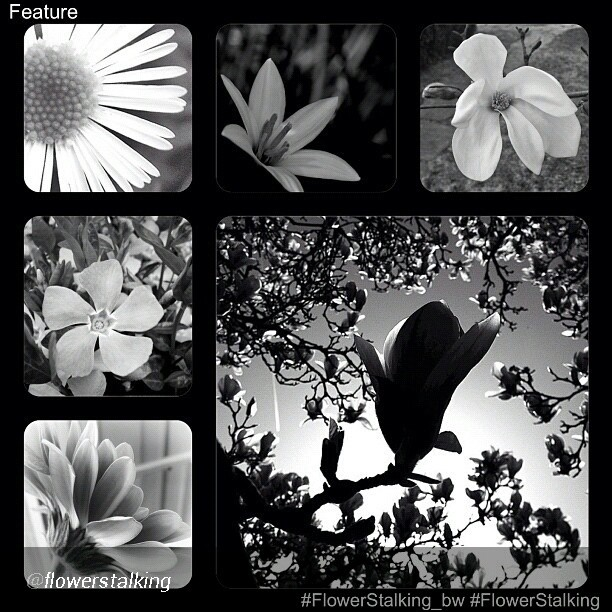 I was honored by @flowerstalking for my bw LM photo, thanks so much. Check the feed, follow @flowerstalking account and tag your best flower photos with #flowerstalking and/or #flowerstalking_bw for the chance to be featured.