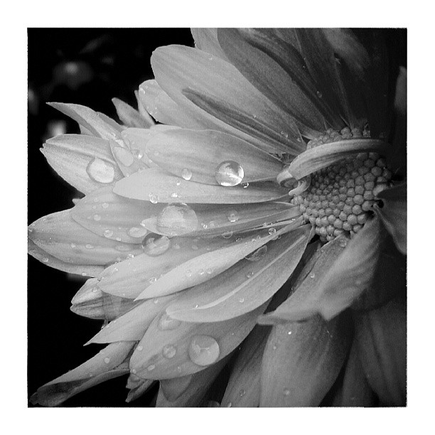 Drops on petals - from Instagram