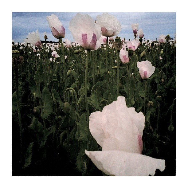 Poppies II. - from Instagram