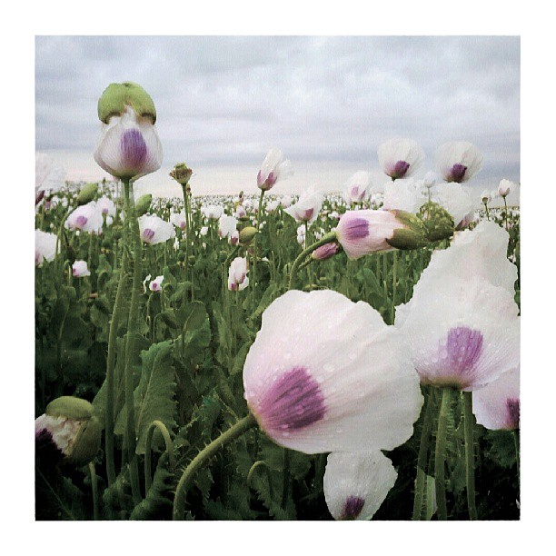 Poppies III. - from Instagram