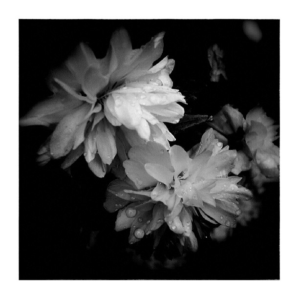 Dog-rose - from Instagram