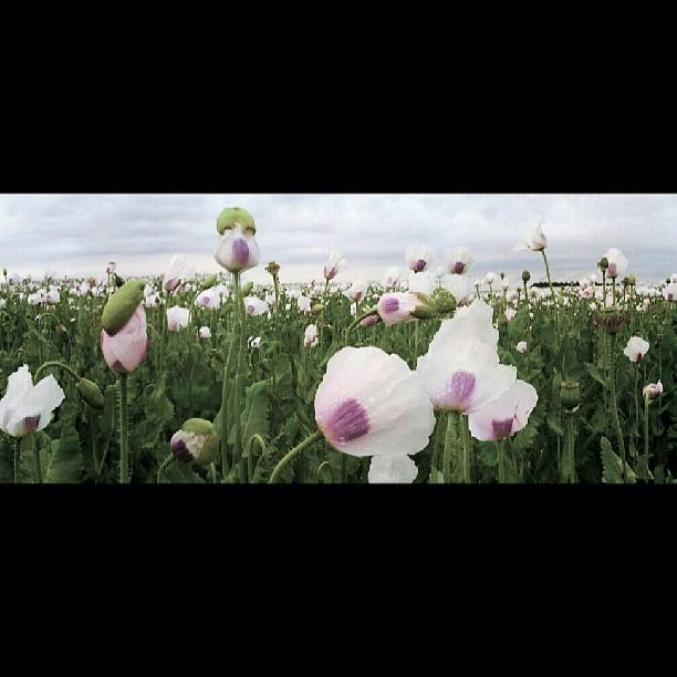 Poppies field - from Instagram
