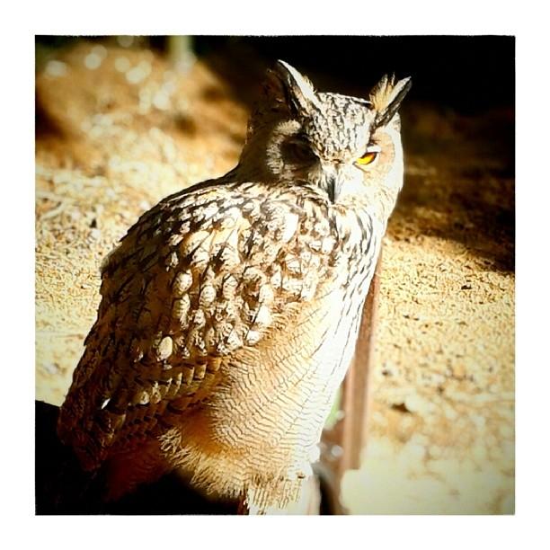 Euroasian Eagle Owl - from Instagram